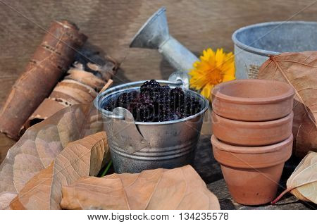 blackberries in pot and other little pots and watering can on wooden background