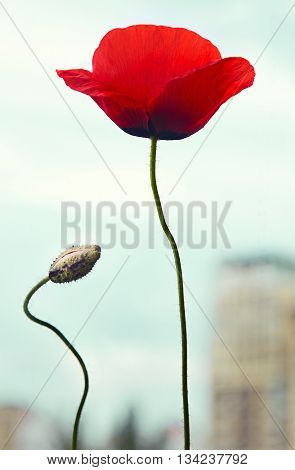 Red poppy flower with bud over city concept of conservation of nature
