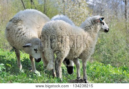 three sheep on the grass of mountain in savoie - France