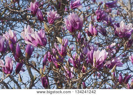 Girl hybrid magnolia Betty flowers (Magnolia x hybrid Betty). Hybrid between Magnolia liliflora Nigra and Magnolia stellata Rosea