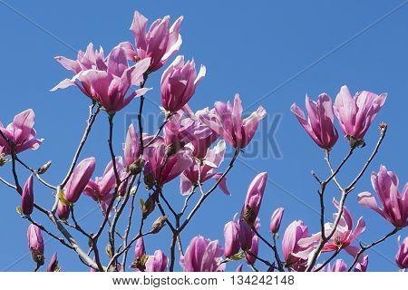 Spectrum hybrid magnolia flowers (Magnolia x hybrid Spectrum). Hybrid between Magnolia liliflora Nigra and Magnolia sprengeri Diva