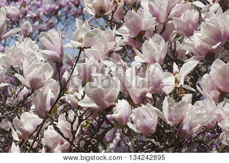 Alba saucer magnolia flowers (Magnolia x soulangeana Alba)