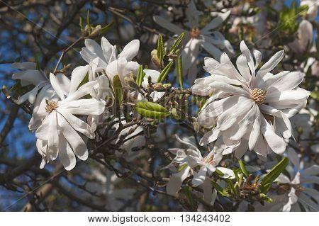 Centennial star magnolia flowers (Magnolia stellata Centennial). Called Centennial Blush star magnolia also