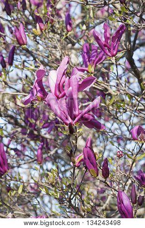 Girl hybrid magnolia Susan flowers (Magnolia x hybrid Susan). Hybrid between Magnolia liliflora Nigra and Magnolia stellata Rosea