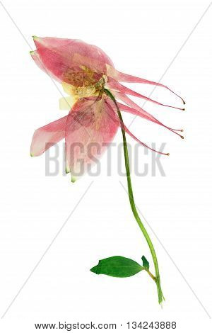 Pressed and dried bush with delicate transparent pink flower aquilegia vulgaris. Isolated on white background. For use in scrapbooking pressed floristry (oshibana) or herbarium.