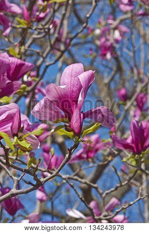 Galaxy hybrid magnolia flowers (Magnolia x hybrid Galaxy). Hybrid between Magnolia liliflora Nigra and Magnolia sprengeri Diva