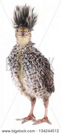 Crazy funny bird quail with ridiculous hair