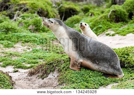 Newborn Australian Sea Lion On Bush Background