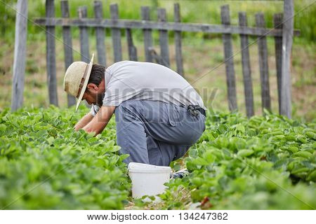 Young Farmer Picking Strawberries