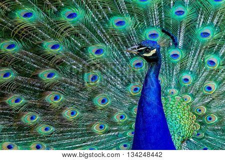 A beautiful male peacock strutting his stuff.