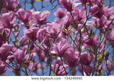 Galaxy hybrid magnolia flowers (Magnolia x hybrid Galaxy). Hybrid between Magnolia liliflora Nigra and Magnolia sprengeri Diva)