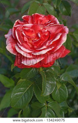 Hybrid rose (Rosa x hybrid). Iimage of single red flower