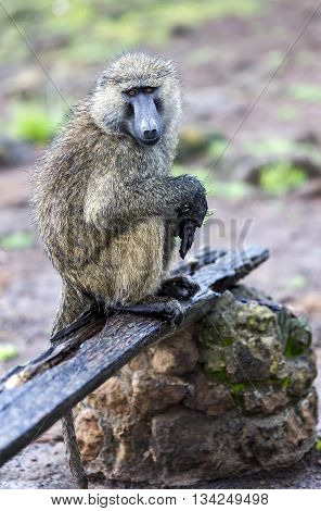 Male Olive Baboon (Papio anubis) is sits with wet wool after rain in Maasai Mara National Park, Kenya.