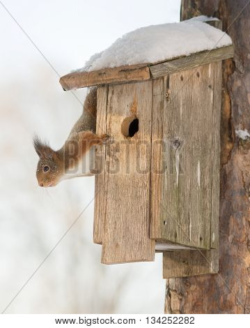 red squirrel on birdhouse with snow  in sun light