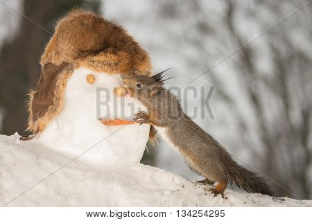 red squirrels eating the nose of snowmans head