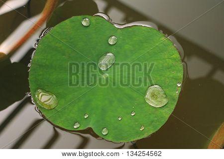Drop of water on the lotus leaf.