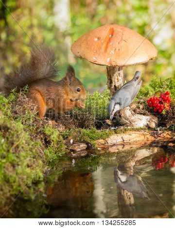 red squirrel and nuthatch standing with mushroom reflected in water