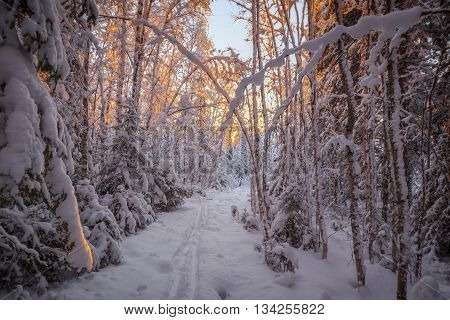 trees and snow in a forest winter andscape with sun down and track