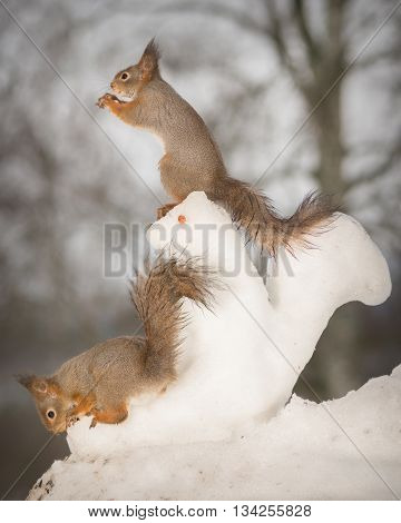 red squirrels with a snow squirrel in snow