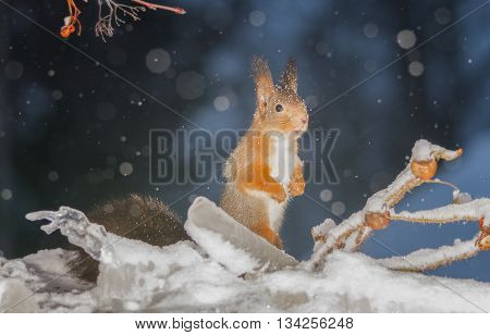 red squirrel standing between icicles and brier while snowing