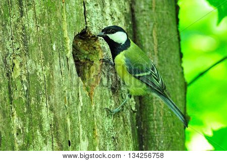 The great tit. Tit sitting near its nest, chickadee looks in a hollow tree.
