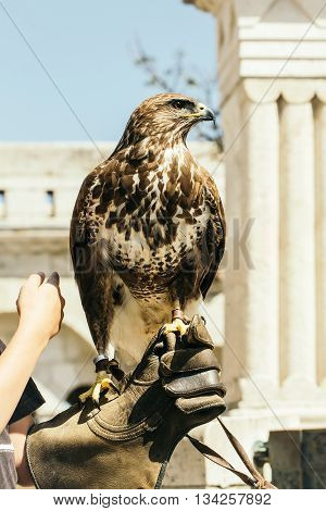 cute eagle with white and brown feathers and sharp beak sitting outdoor on human hand in glove closeup