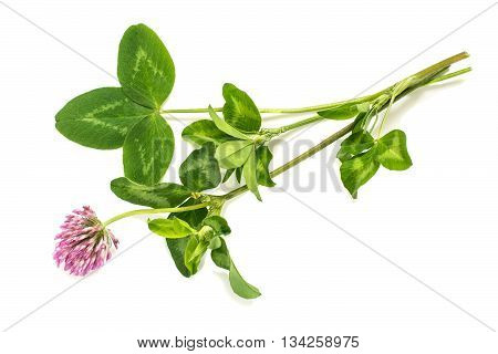 Medicinal plant Red clover (Trifolium pratense) on a white background. Used in herbal medicine cooking to animal feed honey plant