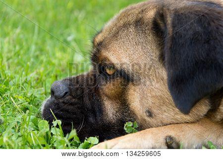 Face of dog Cane Corso in the garden