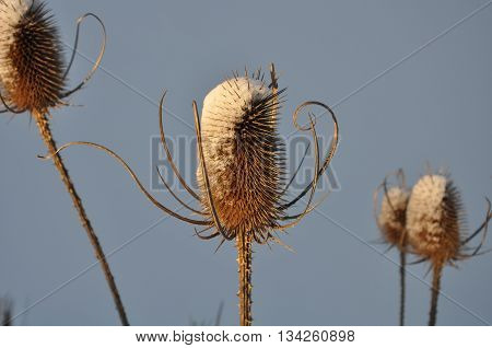 teasel prickle flower in the winter in the snow, light blue background