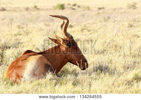Still Sleeping - Red Harte-beest - Alcelaphus Buselaphus Caama