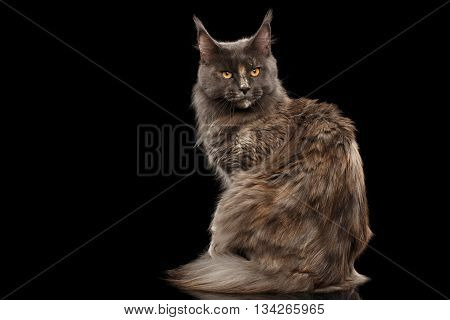 Furry Maine Coon Cat Sitting and turned back Isolated on Black Background