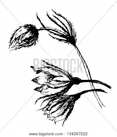 drawing beautiful flowers snowdrop, sleep-grass sketch hand-drawn graphic ink isolated vector illustration