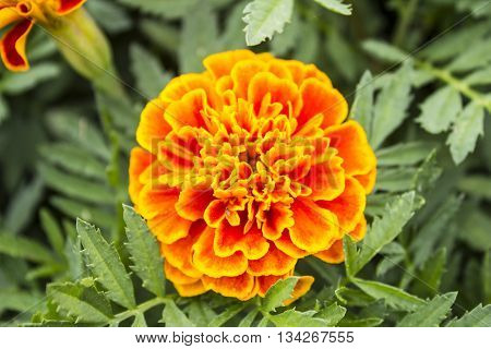 Marigold flowers Yellow marigold flowers in the garden Yellow and orange marigolds.