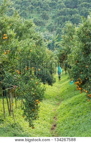 Farmer harvesting oranges in an orange tree field