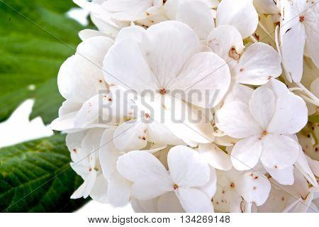 Decorative bush Viburnum or Buldonezh. Horizontal frame location