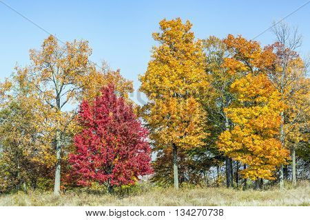 Tall autumn trees display vividly colorful leaves on the edge of a field under a clear blue sky.