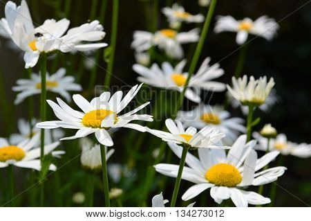 Close-up image of Oxeye Daisy flowers (Leucanthemum vulgare).