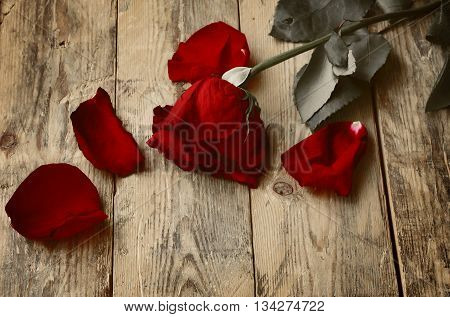 alone withered red rose and petals lying on wooden table