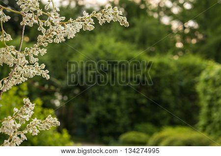 polygonum auberti blossom white flower clusters in botanic garden