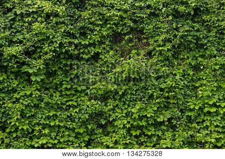 green wall green plant background in botanical garden at summer morning