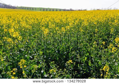 Blooming summer field of yellow rape, canola