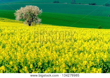 Lonely tree on the blooming colza field at South Moravia