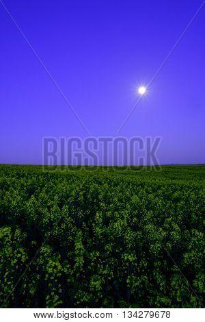 Rape field at the night