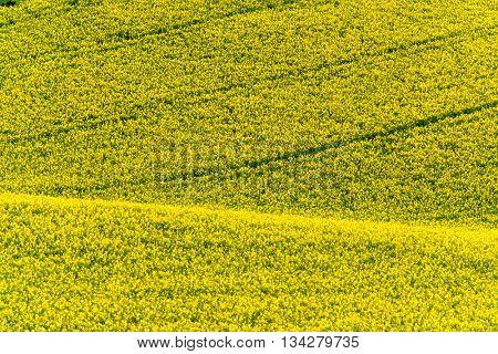 Yellow rape hills in South Moravia, Csezh Republic