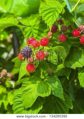 fresh blackberries in a garden. Fresh blackberries on a bush outdoors in a field. blackberries.