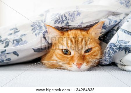 Cute ginger cat lying in bed under a blanket. Fluffy pet comfortably settled to sleep. Cozy home background with funny pet.