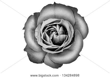 Close up of halftone rose illustration isolated on white.