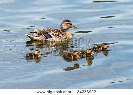 Family Of Wild Ducks (mallard)