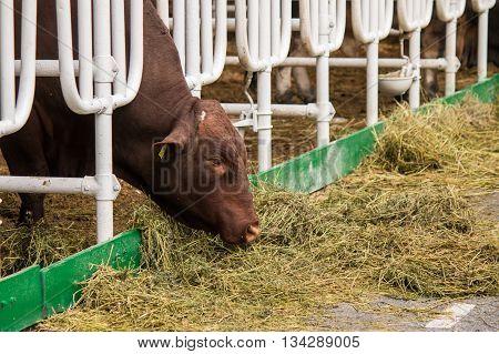 Aberdeen Angus calf in feedlot eating hay