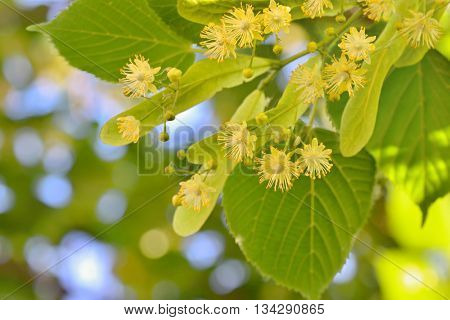 Linden flowers and linden tree in spring time